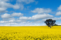 Sun breaks over canola crop field