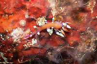 Much Desired Flabellina Nudibranch - Flabellina exoptata