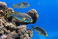 Diagonal banded Sweetlips fish (Plectorhinchus lineatus)
