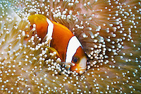 Barrier Reef Anemonefish in Sea Anemone