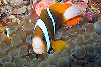 Bulb Tenticle Sea Anemone and Barrier Reef Anemonefish