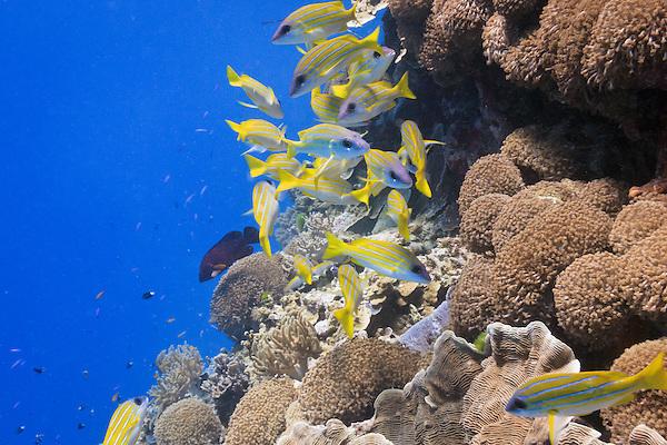 Bluestripe Snapper (lutjanus kasmira) over pachyseris foliosa coral