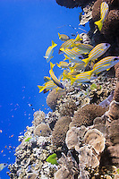 bluestripe snapper lutjanus kasmira over pachyseris foliosa coral