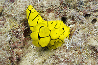 Minor Notodoris nudibranch